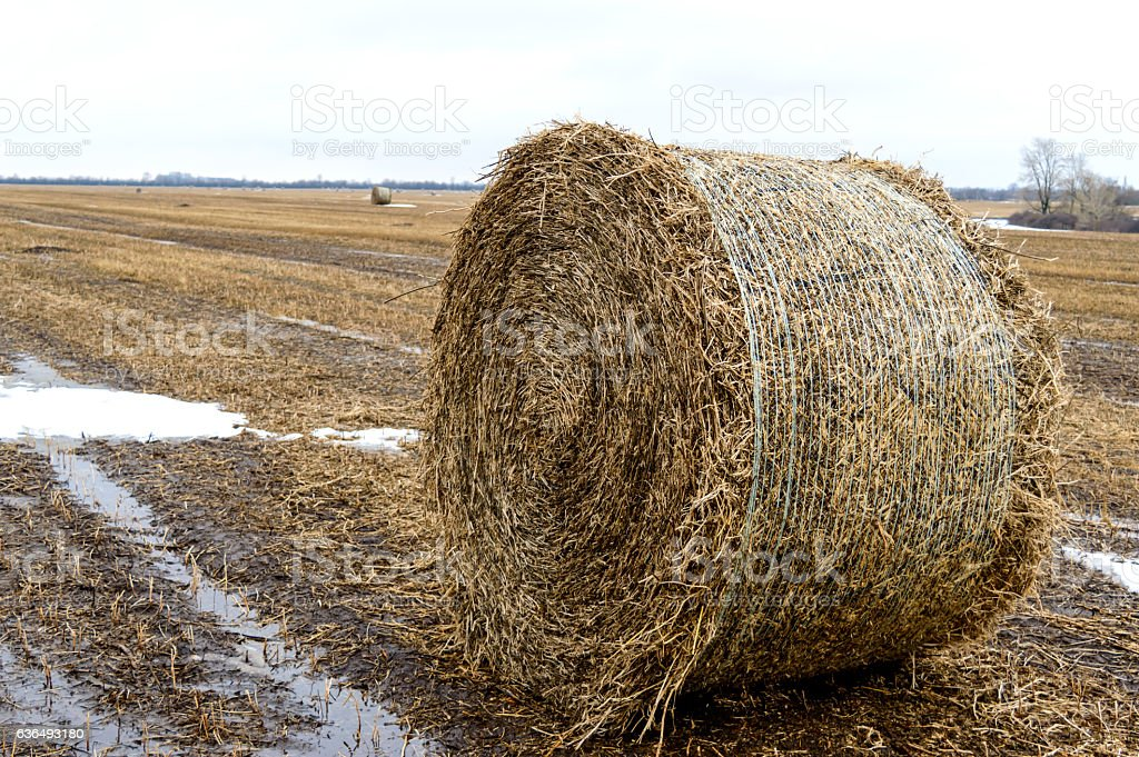 The straw left on the field after the grain harvest stock photo