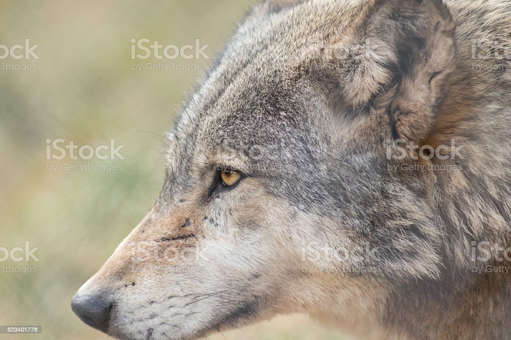 The strict eyes of wolves stock photo