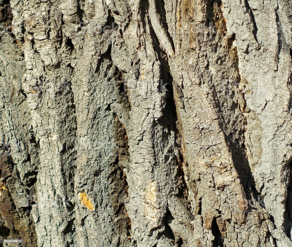 the structure of the bark of a large tree closeup stock photo