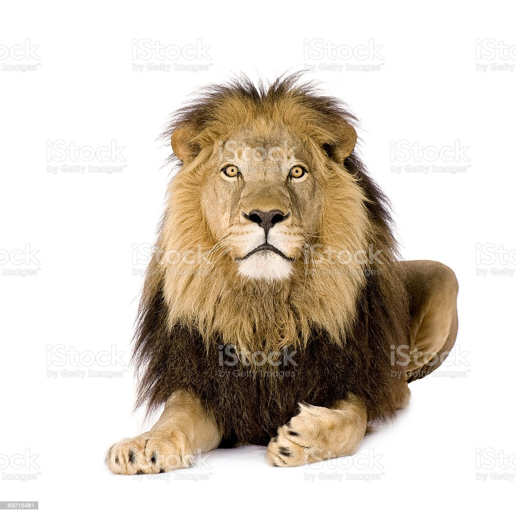 The stunning panthera leo lion royalty-free stock photo