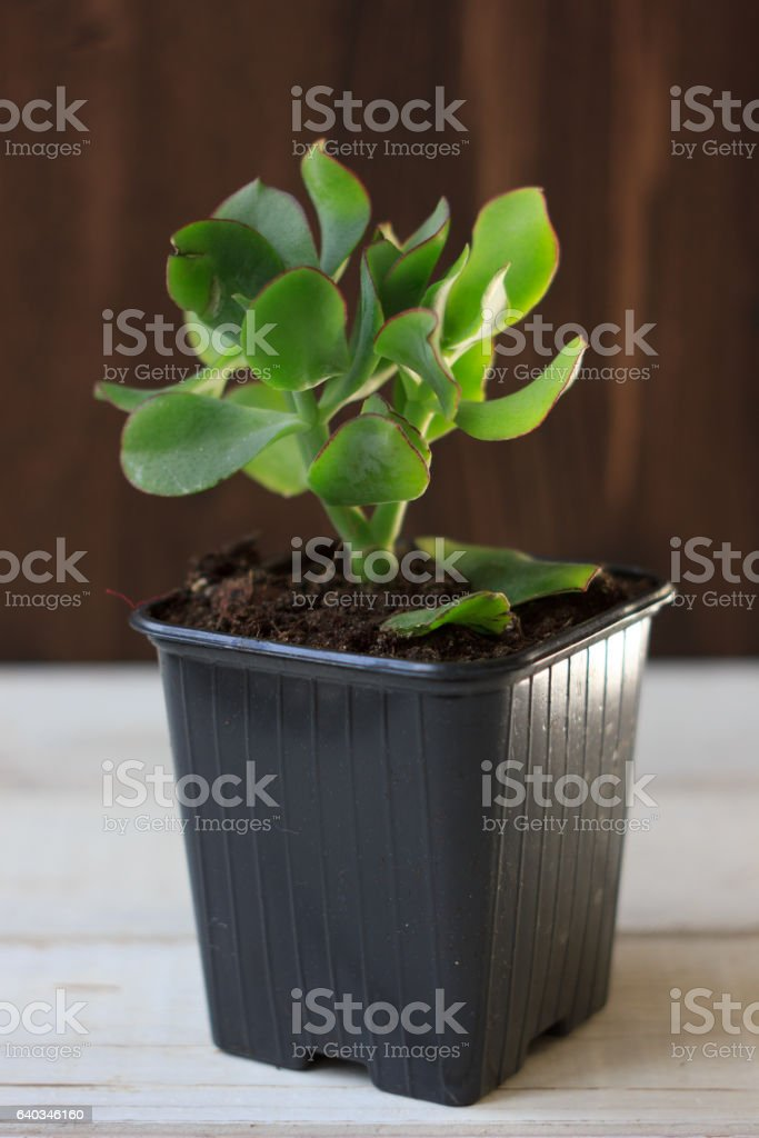The succulent plant crassula blue bird - kind of crassula stock photo