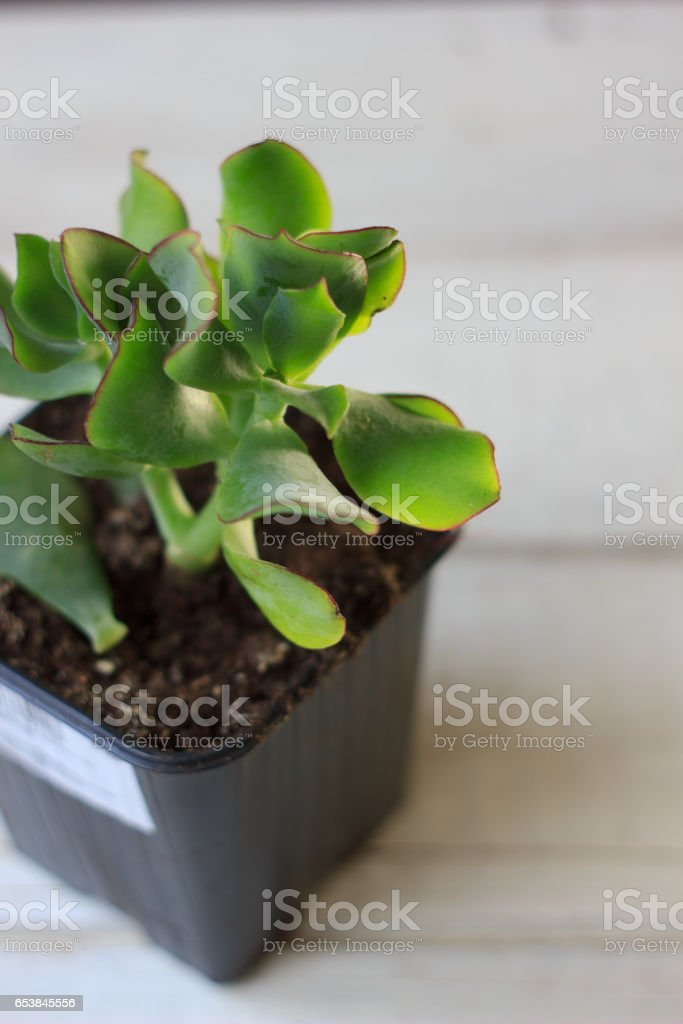 The succulent plant crassula blue bird - kind of crassula with the flat leaves. stock photo