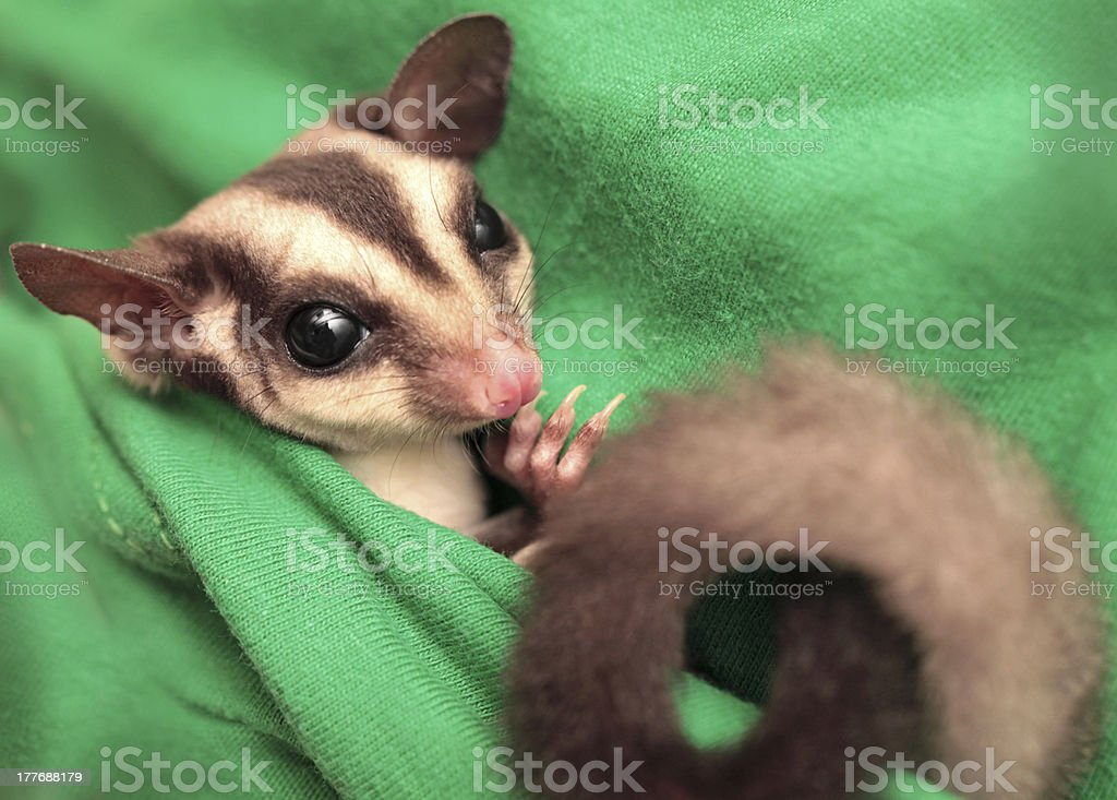 The sugar glider (Petaurus breviceps) on green fabric stock photo