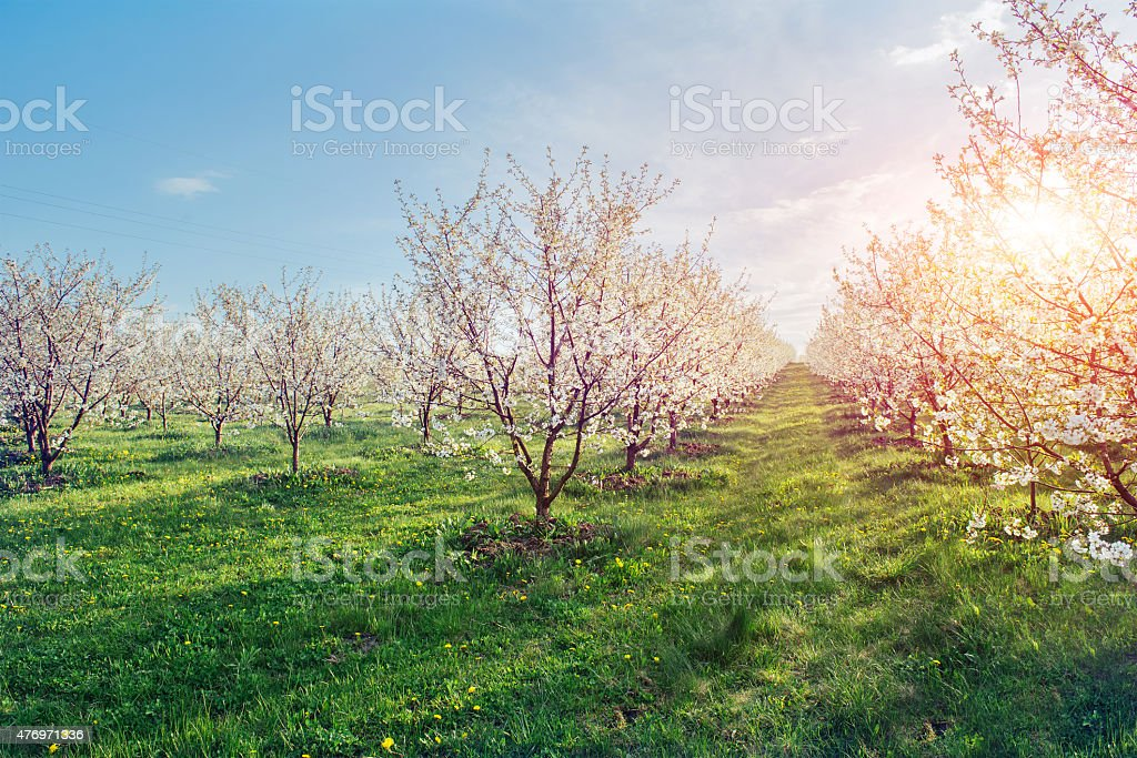 The sun breaks through the branches blossom trees. stock photo