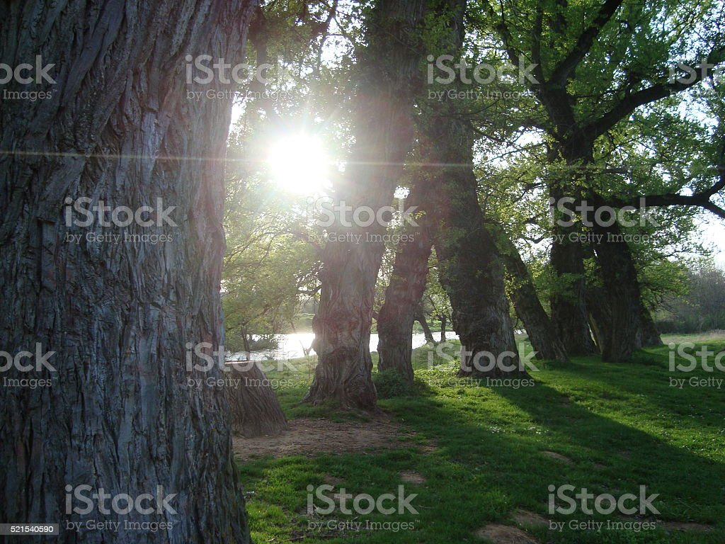 Free photo Small Conifers Green Nature Tree Path Between - Max Pixel