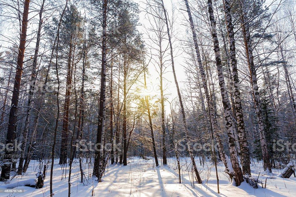 The sun rays breaking through the trees stock photo
