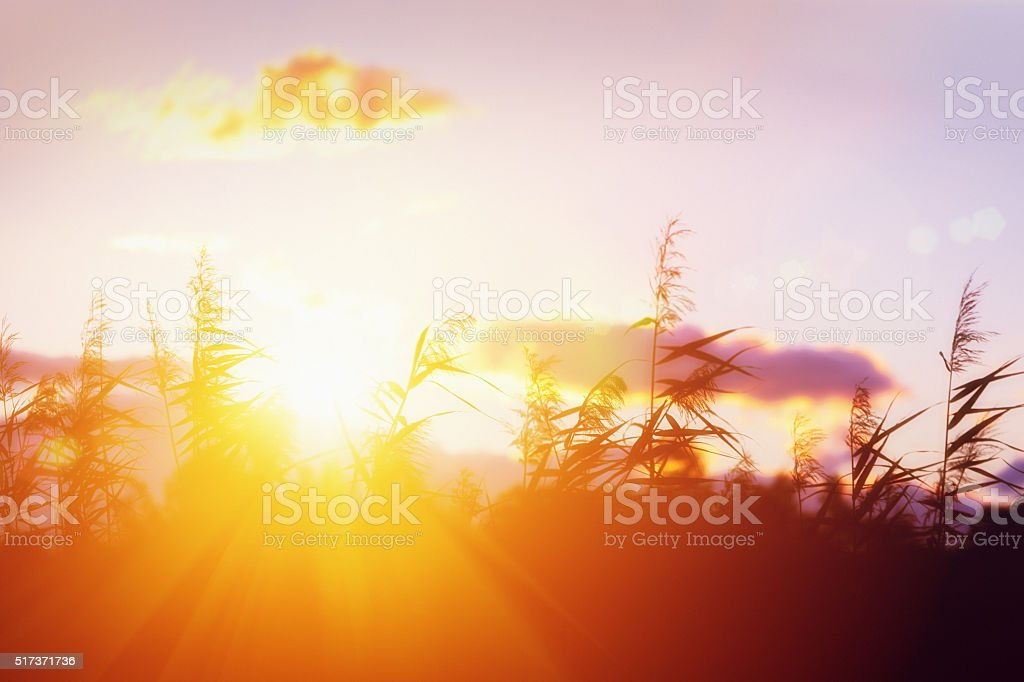 The sun rising behind silhouetted grasses on a  beautiful morning stock photo