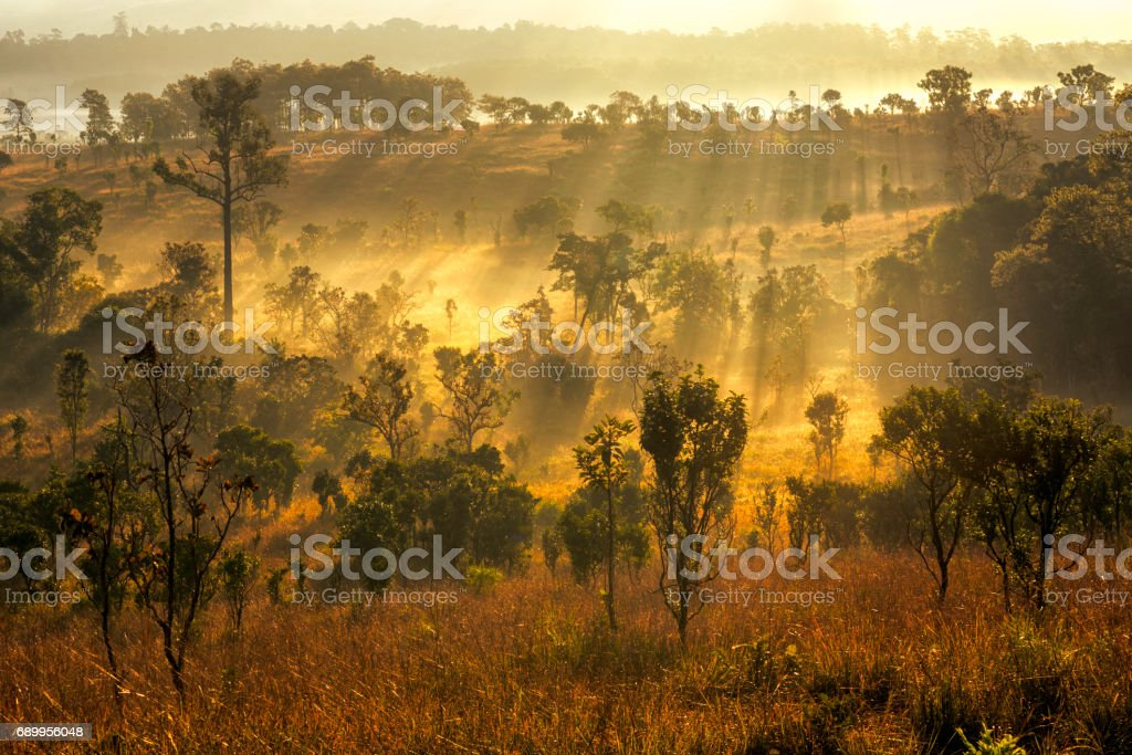 The sun shines into the sloping thung Salang Luang , savanna forests in Thailand. stock photo