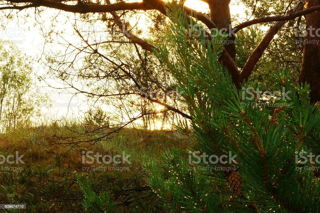 The sun shines through the pine tree on the shore. stock photo