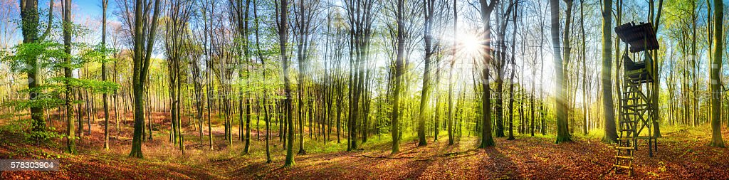 The sun shining in a forest at springtime, wide panorama stock photo