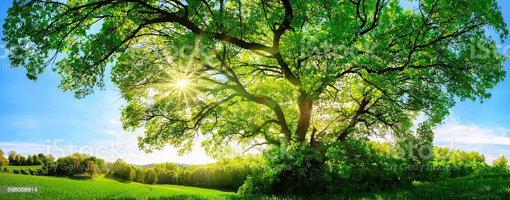 The sun shining through a majestic oak tree stock photo