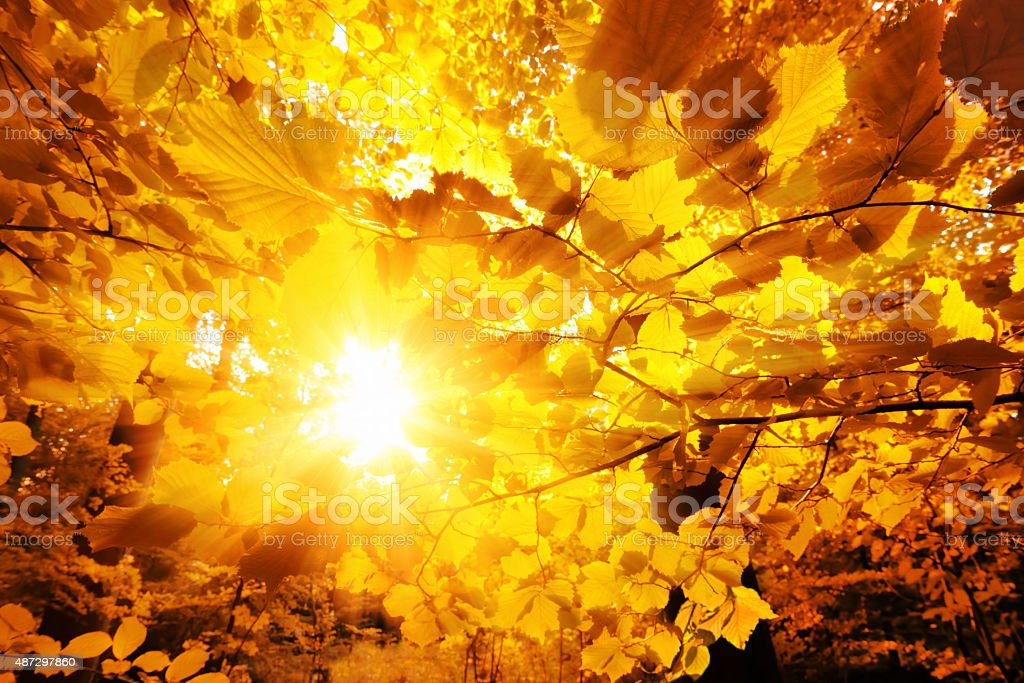 The sun shining through autumn leaves stock photo