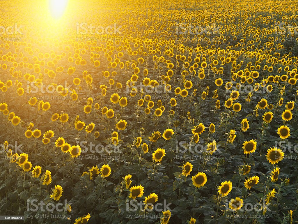 The sunlight on a beautiful sunflower field royalty-free stock photo