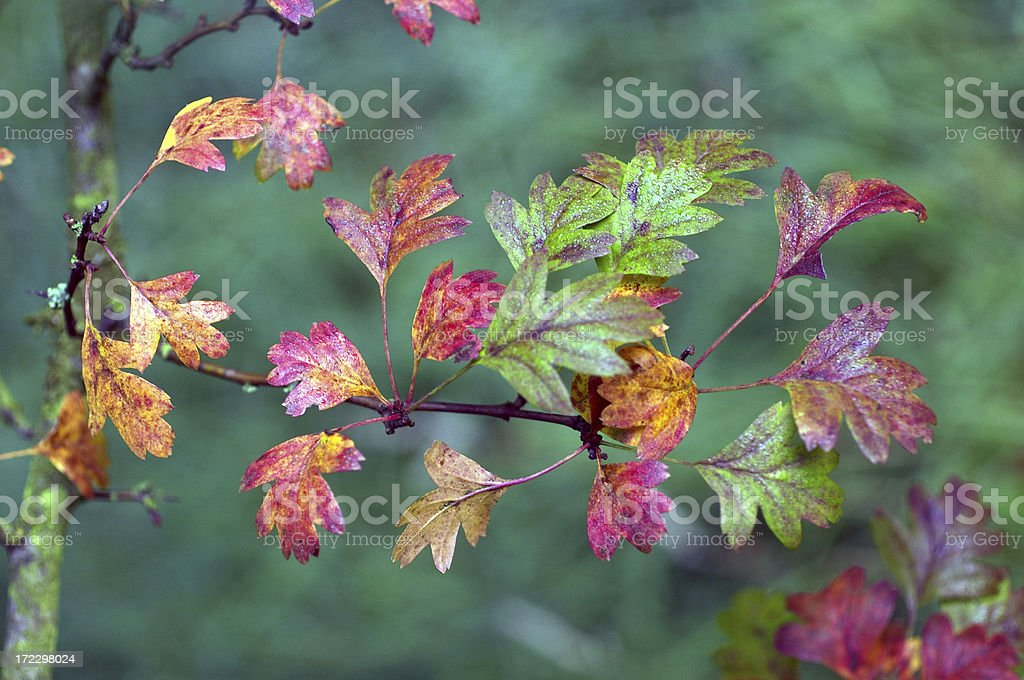 Autumn leaves at first light royalty-free stock photo