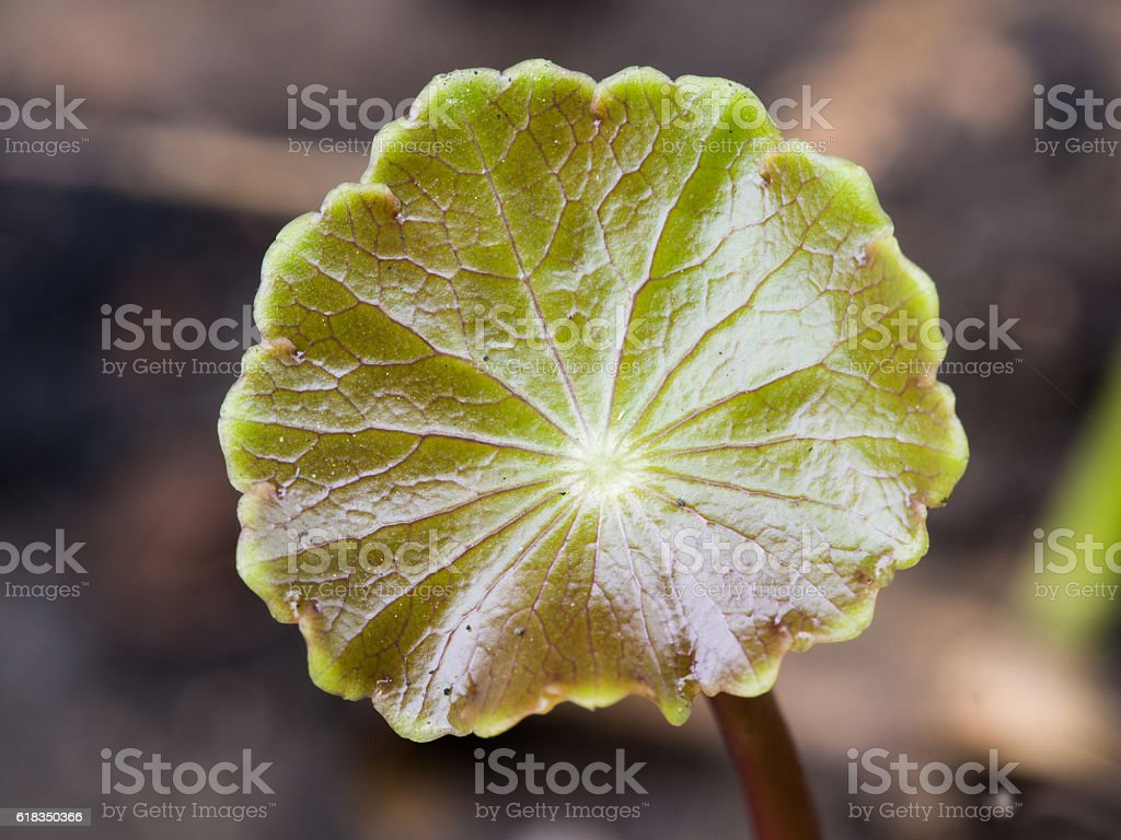 The Surface of Water Pennywort stock photo