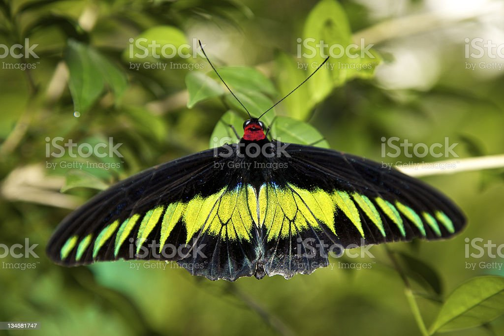 The Swallowtails and Birdwings (Papiliondae) royalty-free stock photo