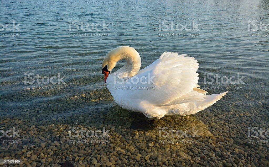 The swan at Jarun lake stock photo