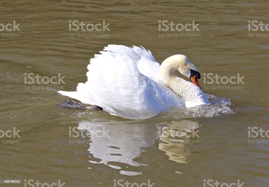 The swan is ready to war stock photo
