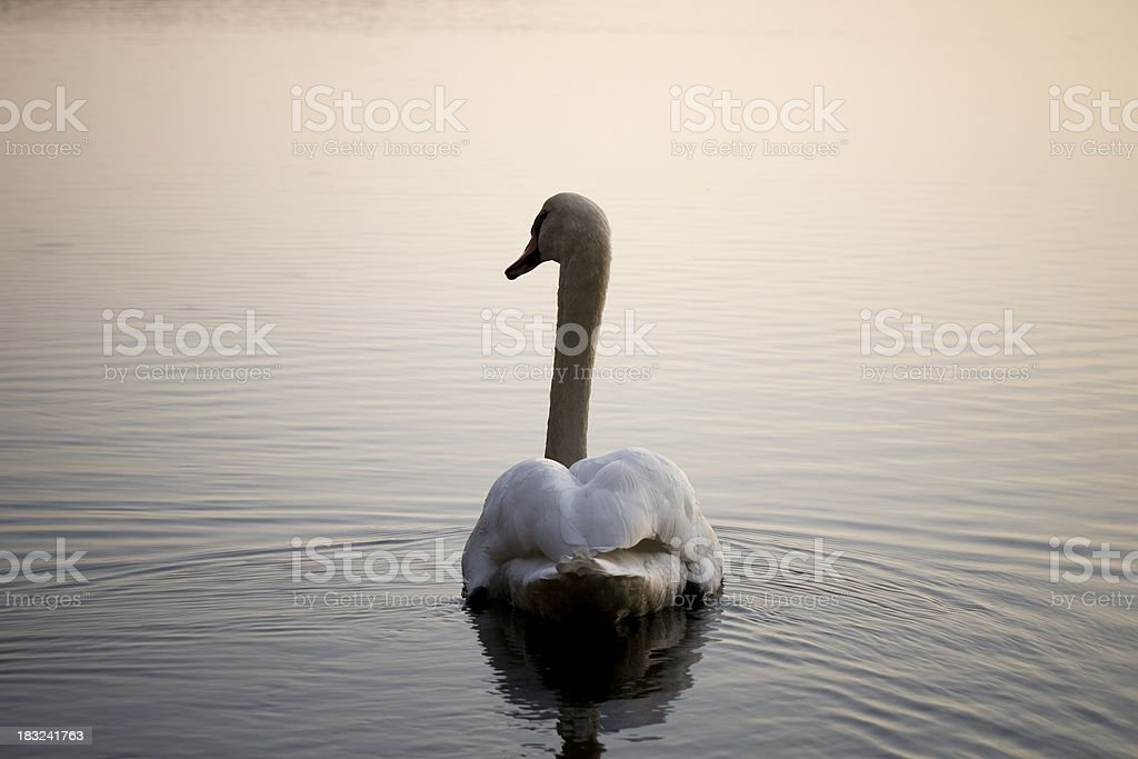 The Swan royalty-free stock photo