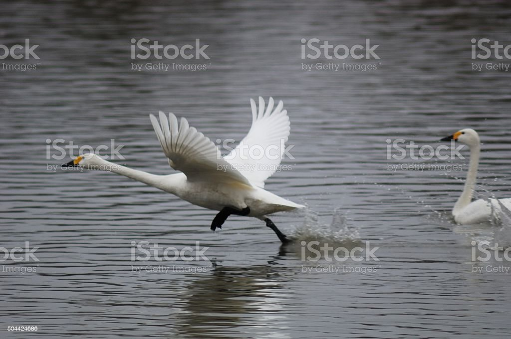 The swan which flies away. stock photo
