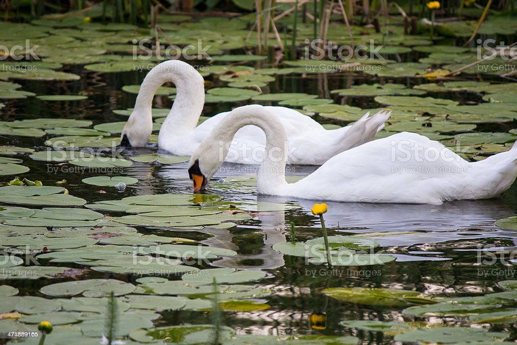 The swans royalty-free stock photo