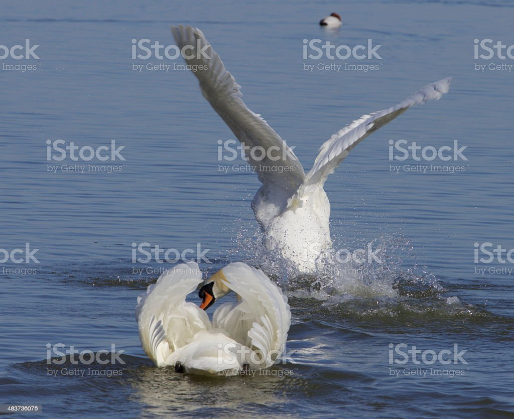 The swans take off stock photo