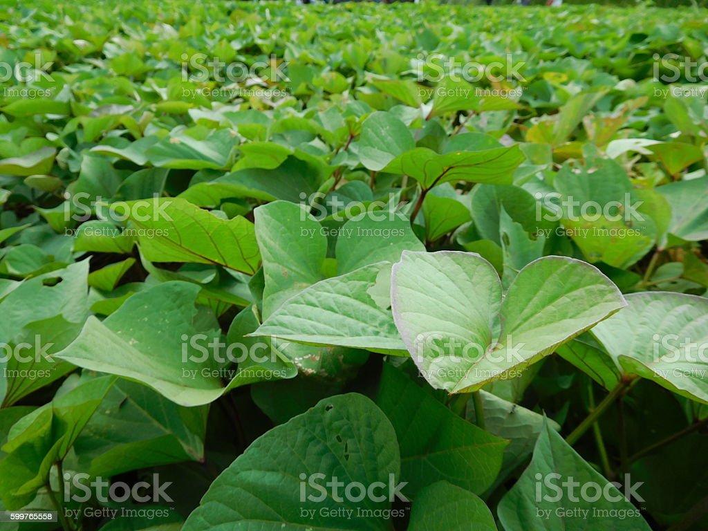 The sweet potato fields in summer stock photo