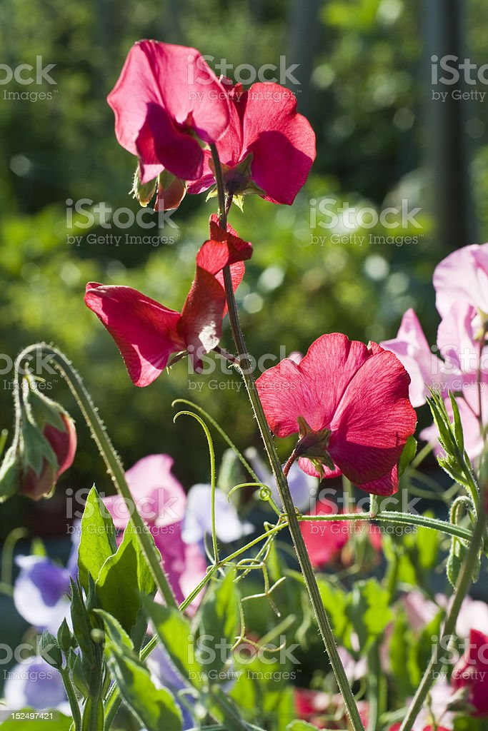 The sweetest Sweetpeas royalty-free stock photo
