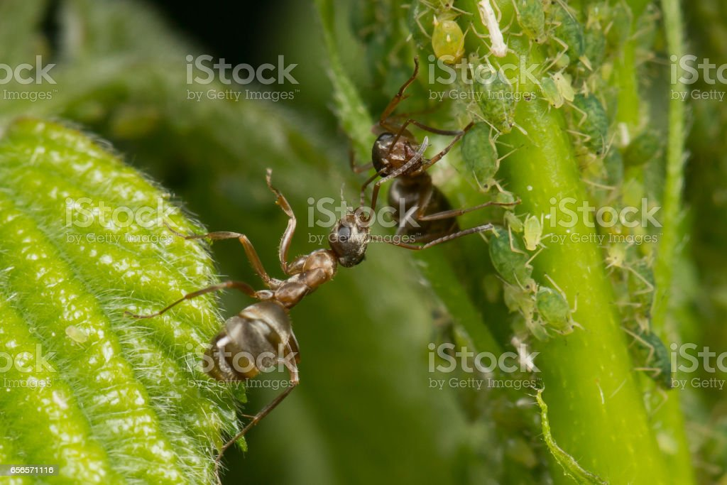 The symbiosis of ants and aphids. Ant tending his flock on green leaves stock photo