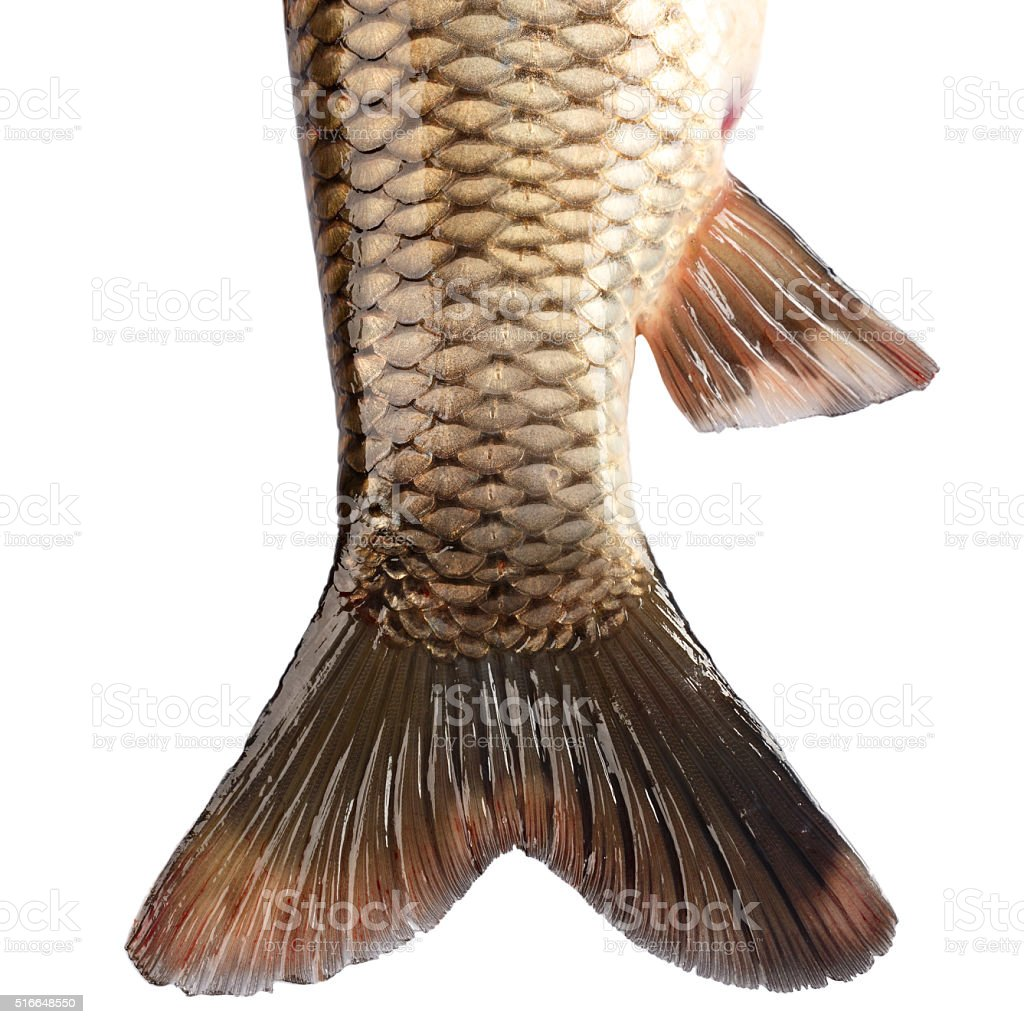 The tail of the fish carp isolated on white background stock photo