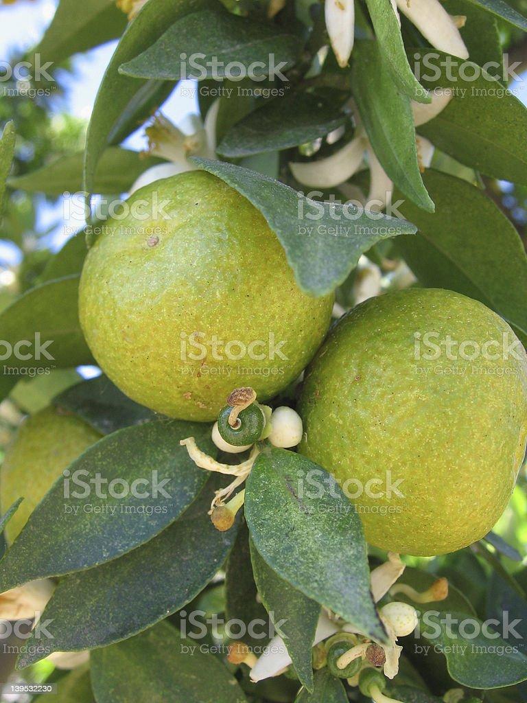 The tangerine fruit stock photo
