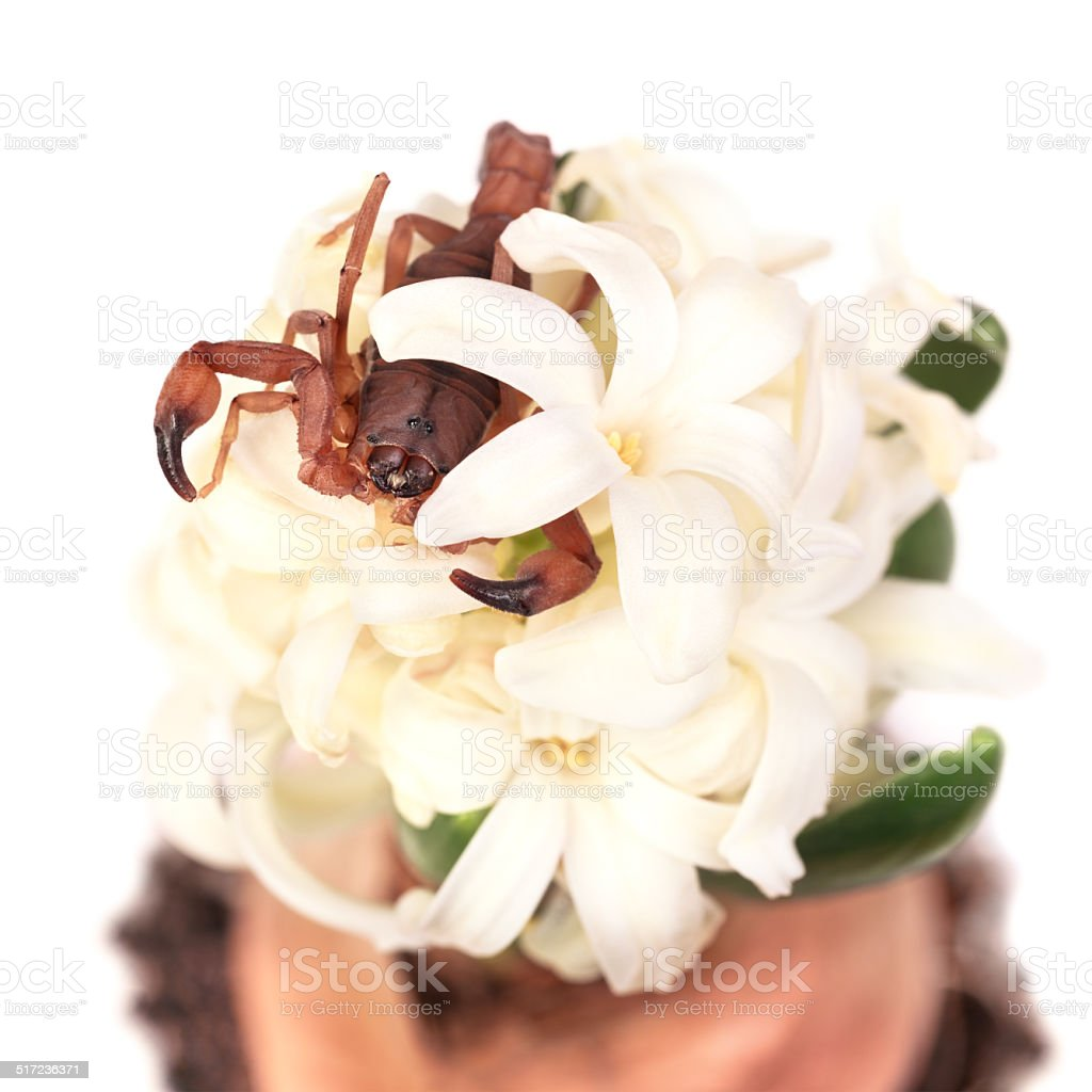 The Tanzanian Bark Scorpion on Hyacinth fragrant flowers. stock photo