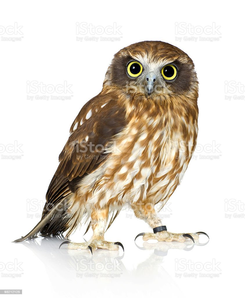 The Tasmanian spotted owl starring at you royalty-free stock photo
