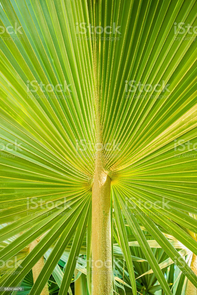 the Texture background of green palm leaf stock photo