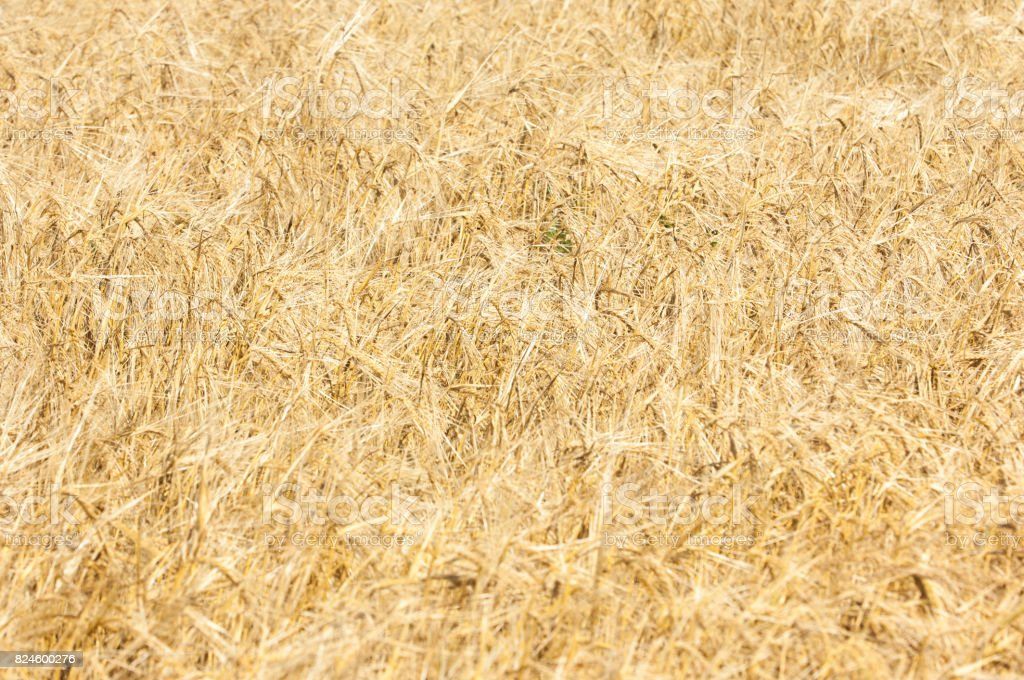 The texture of a wheat field. stock photo