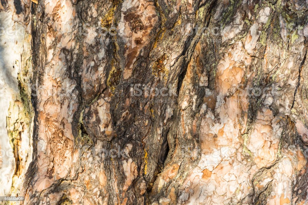 The texture of the trunk of an ancient 500 year old pines. stock photo