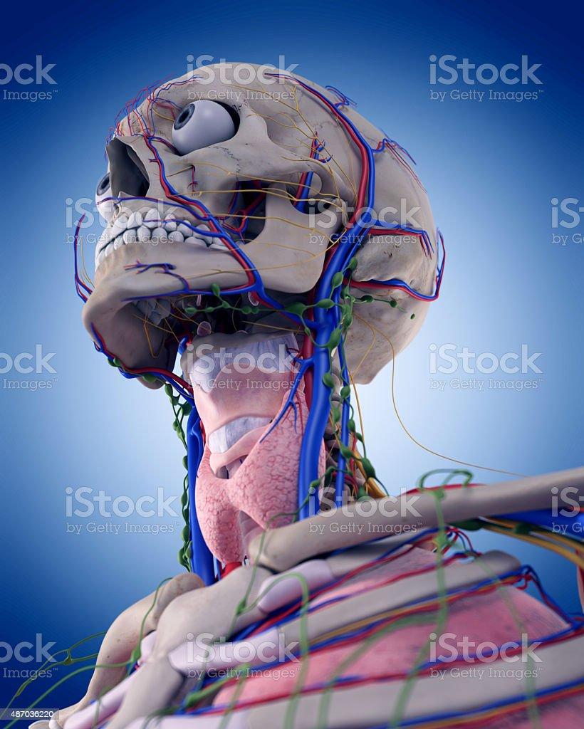the throat anatomy stock photo
