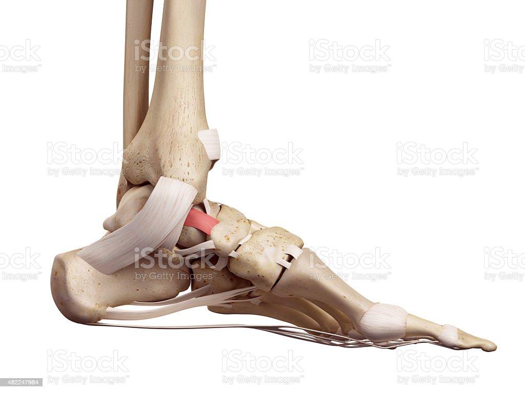 The tibeonavicular ligament stock photo
