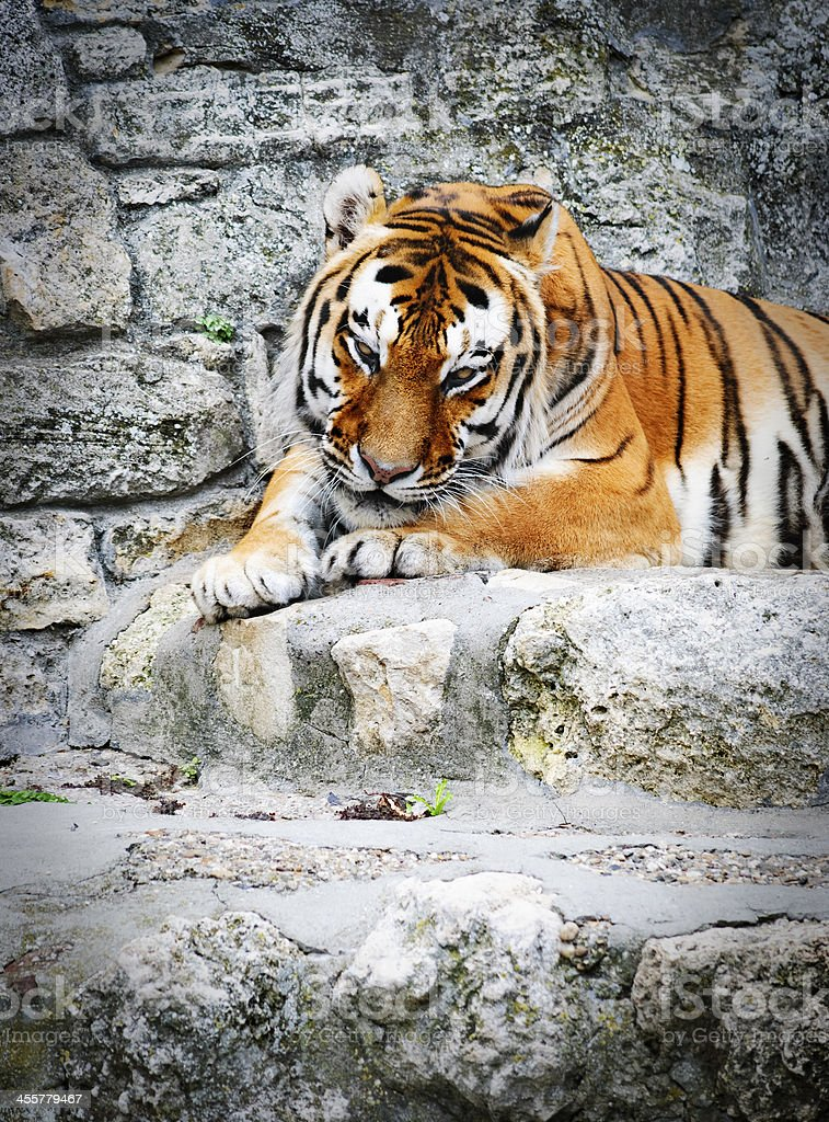 The Tiger royalty-free stock photo