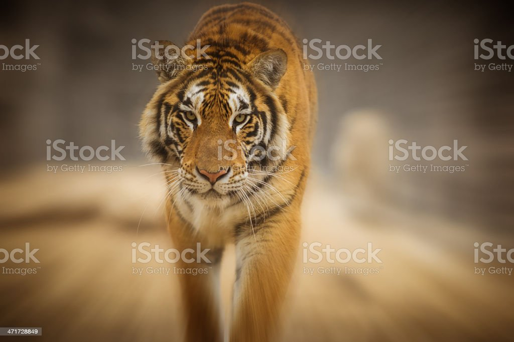 The tiger stock photo