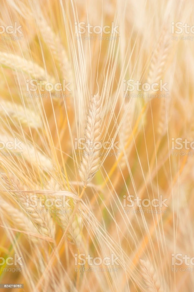 The time of the barley harvest stock photo