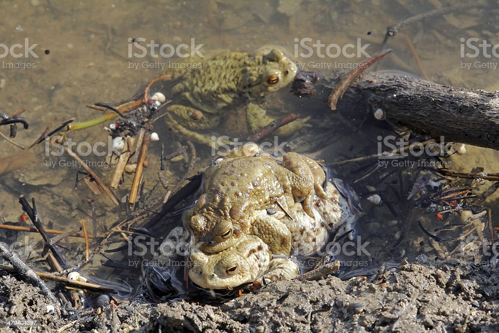 the toads stock photo