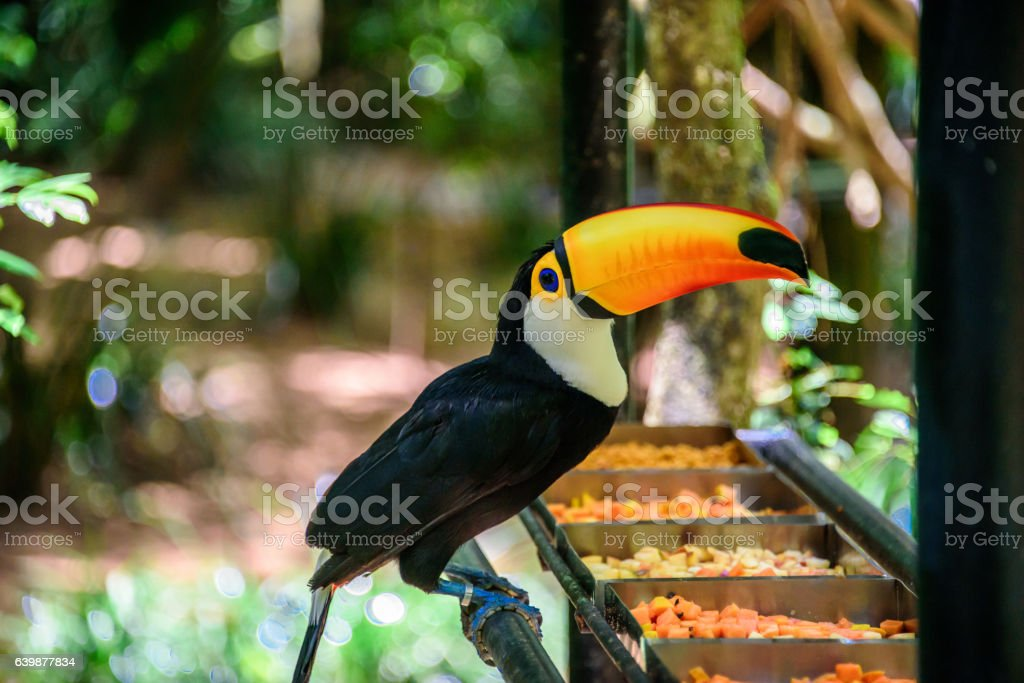 The Toco Toucan in Iguacu National Park stock photo