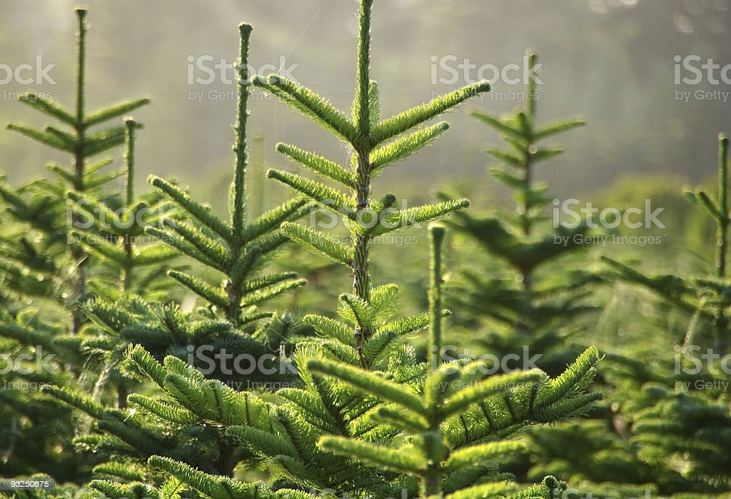 The top parts of green pine trees stock photo