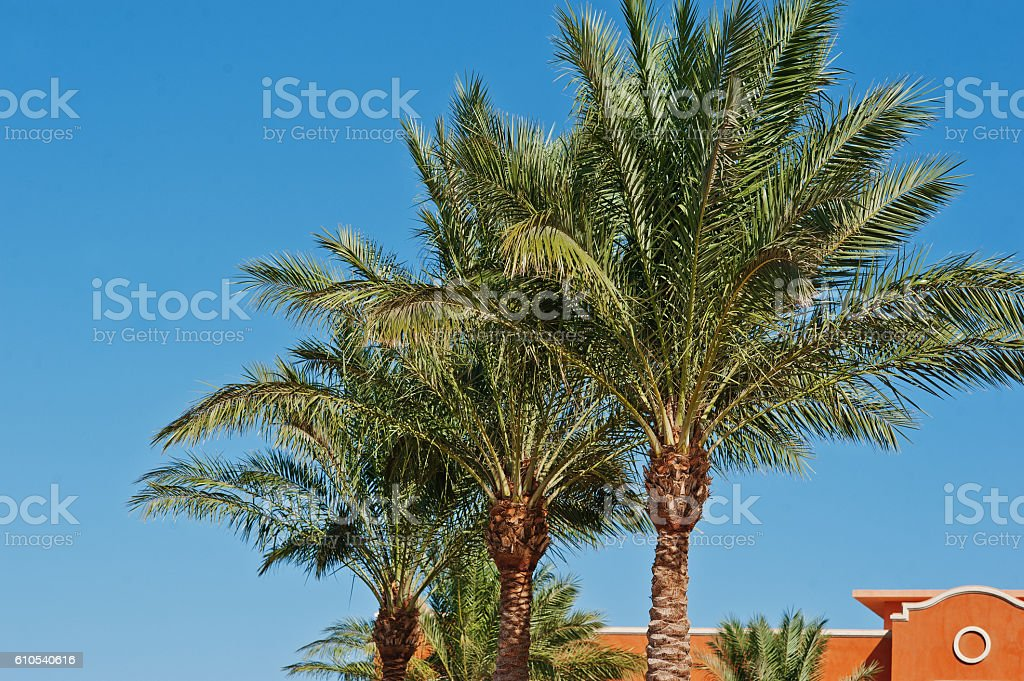 The tops of palm trees background blue sky stock photo