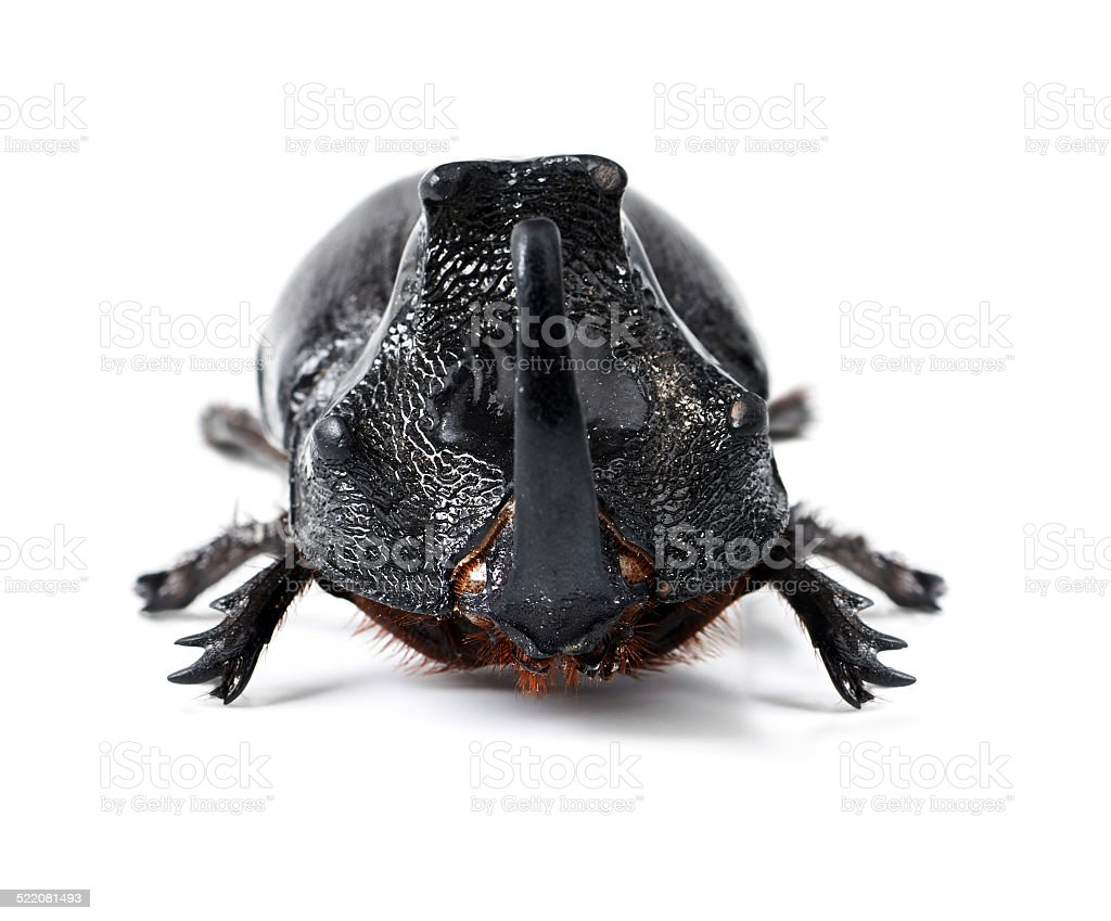 The toughest of all beetles stock photo