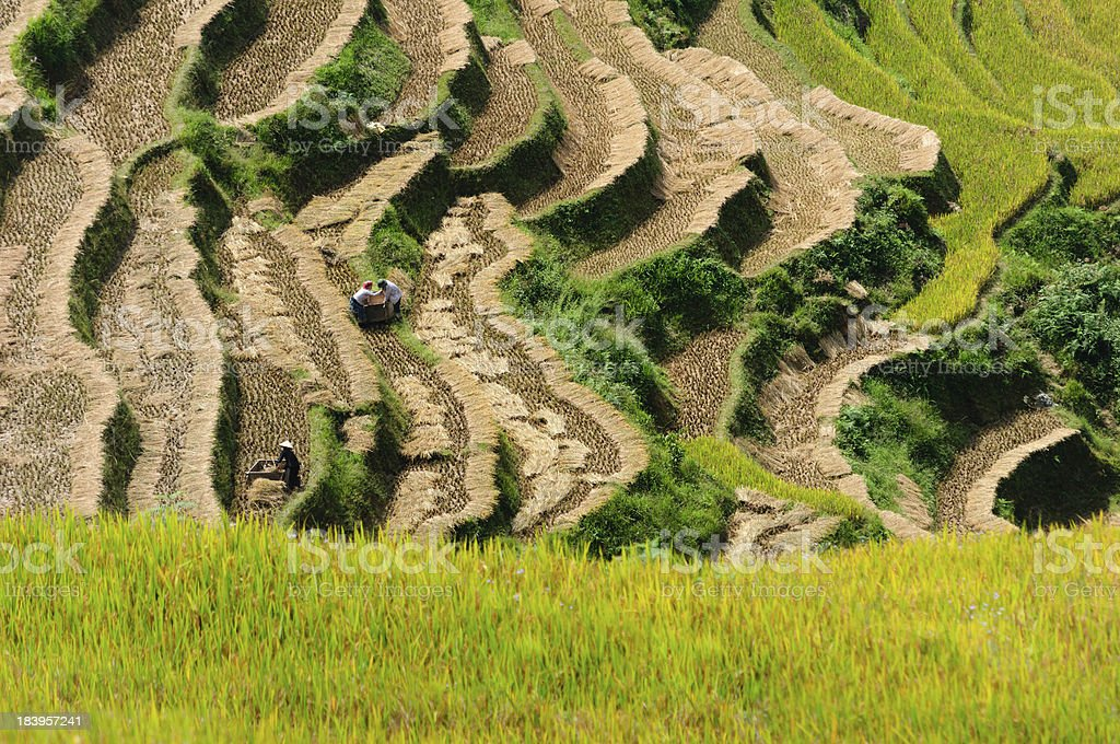 The traditional way of threshing grain in Northwest Vietnam stock photo