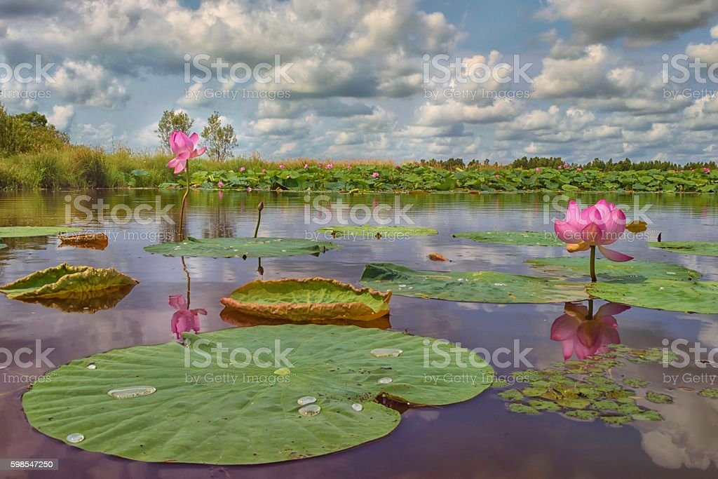The tranquility of nature. Lotuses blossom stock photo