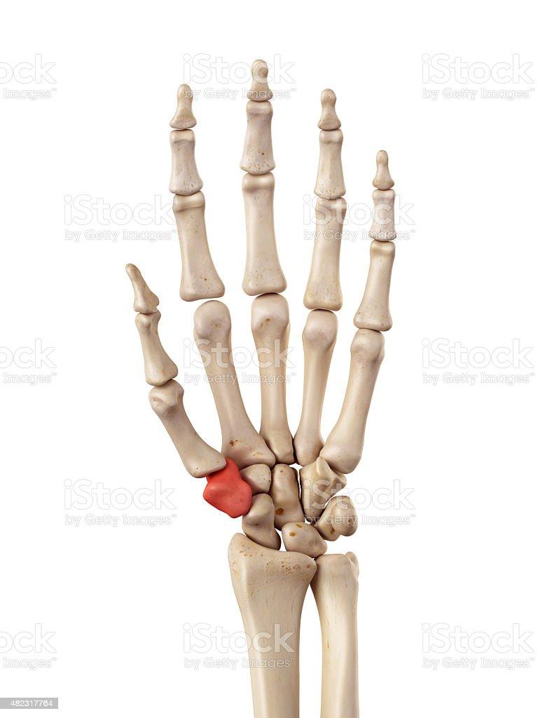the trapezium bone stock photo