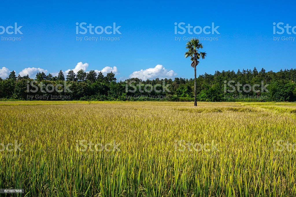 The tree on the rice field royalty-free stock photo